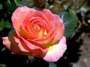 rose, Colourfull Flowers, pink