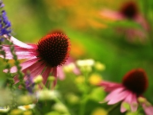 Colourfull Flowers, echinacea, Pink
