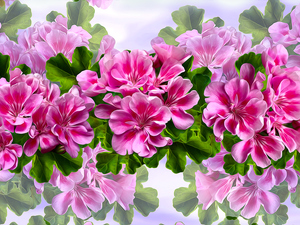 Flowers, geraniums, graphics, Pink