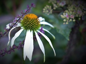 echinacea, purple, plants, Colourfull Flowers