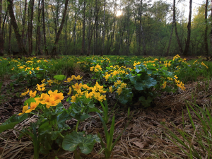 Flowers, trees, Marsh-Marigold, viewes, forest, marigolds, Plants