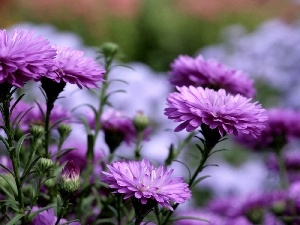 purple, Chrysanthemums, change