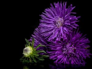 Flowers, purple, Dark Background, Astra