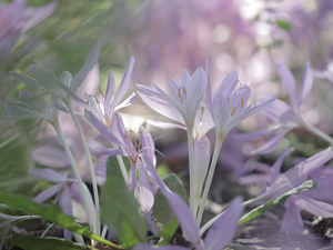 purple, colchicums, Flowers