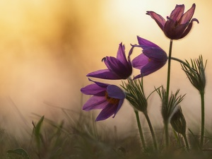 Flowers, pasque, grass, purple