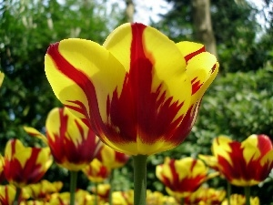 rapprochement, blur, yellow, Red, Tulips