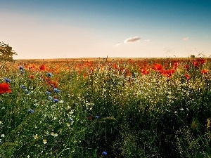 cornflowers, Meadow, rays, sun, camomiles, papavers
