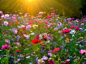 rays, sun, Flowers, Cosmos, Meadow