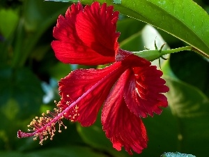 Colourfull Flowers, Red Hibiscus