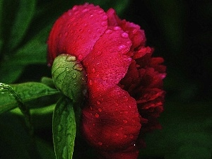peony, Colourfull Flowers, red