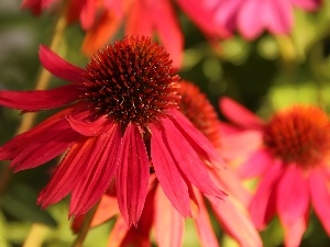 red hot, echinacea