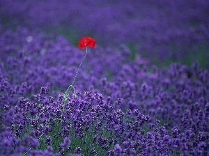 Field, Red, red weed, lavender