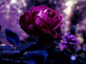 rose, Beauty, Violet