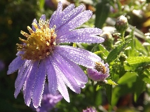 Aster, droplets, Rosy, Violet