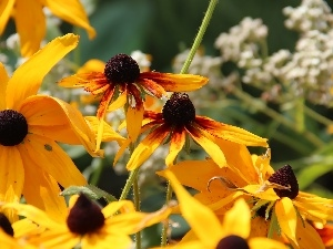 Rudbeckia, Yellow, Flowers