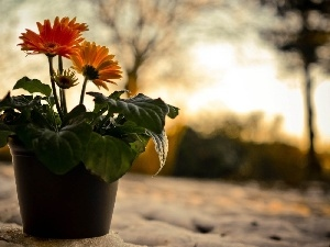 snow, gerberas, shadow, pot