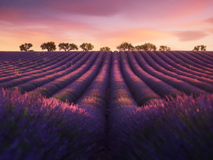 trees, Field, Pinkish, Sky, viewes, lavender