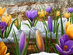 crocuses, snow