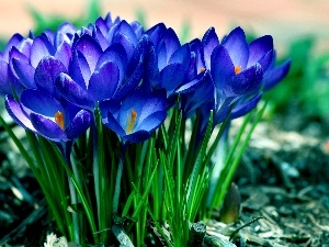 Spring, Blue, crocuses