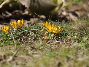 Spring, Yellow, crocuses