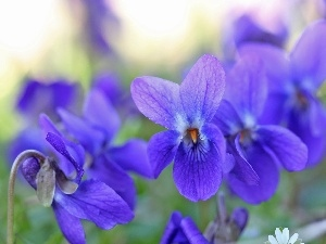 fragrant violets, Flowers, Spring, purple