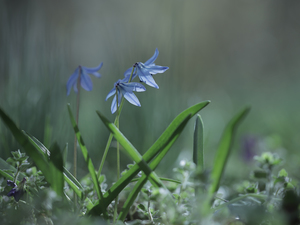 Siberian squill, Blue, Flowers, rapprochement