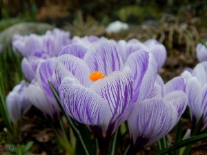 stripes, crocuses, purple