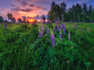 viewes, Great Sunsets, summer, trees, lupine