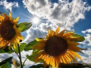 Flowers, rays, sun, Nice sunflowers