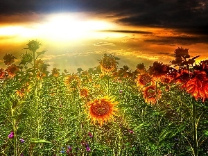 Nice sunflowers, west, sun