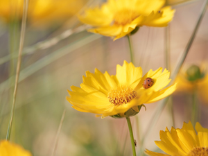 Early Sunrise, Flowers, ladybird, Yellow