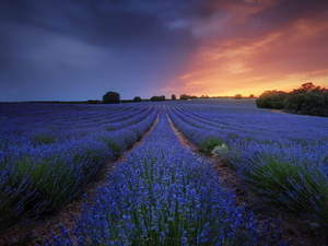 trees, Field, Great Sunsets, evening, viewes, lavender