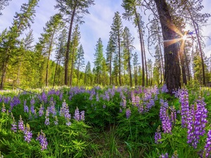 viewes, forest, lupine, rays of the Sun, car in the meadow, trees