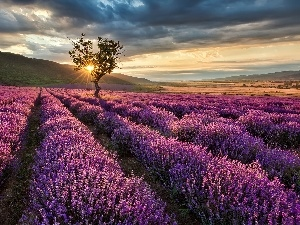 Field, lavender, trees, Przebijaj?ce, luminosity, The Hills, sun, flash, ligh