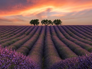 lavender, Great Sunsets, trees, viewes, Three, Field