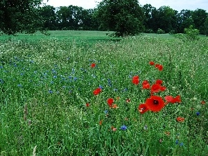 trees, viewes, papavers, cornflowers, Meadow