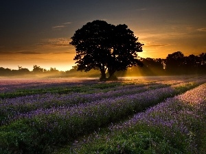 viewes, Narrow-Leaf Lavender, sun, trees, west