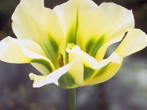 tulip, cream, Yellow
