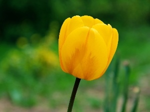 Yellow, tulip