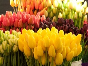 tulips, armful, Colorful