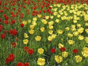Tulips, Red, Yellow
