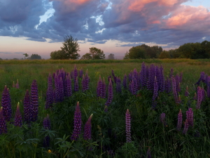 clouds, trees, Violet, viewes, Meadow, Flowers, lupine