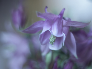 columbine, Violet, Colourfull Flowers, graphics