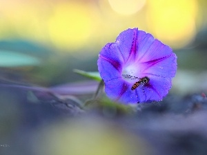 Violet, bindweed, wasp, Colourfull Flowers