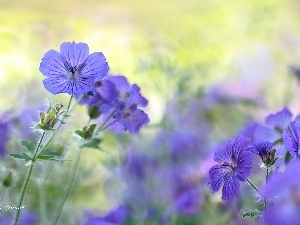 Colourfull Flowers, geranium, Violet