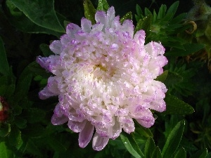 Colourfull Flowers, white, Violet, Aster