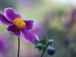 Colourfull Flowers, Japanese anemone, Violet