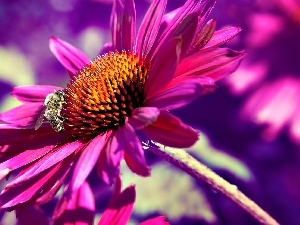 Pink, echinacea, bee, Colourfull Flowers