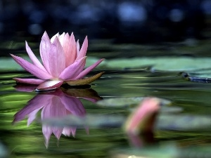 water-lily, Art