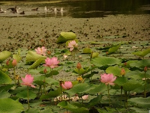 Pond - car, Lily, water